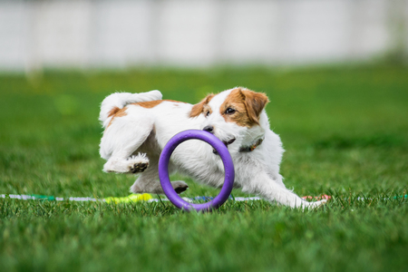 Jack Russell Terrier catching puller toy