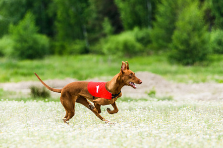 Pharaoh Hounds lure coursing competition at chamomile field