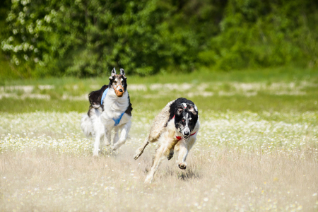 Russian wolfhounds lure coursing competition at the field Stock Photo