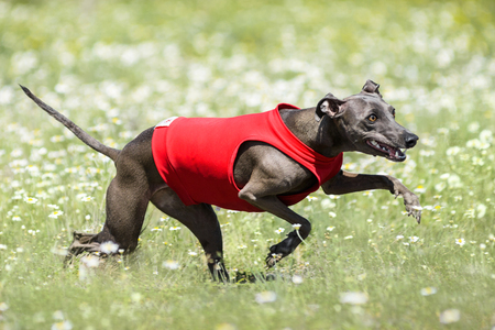 Funny Face Italian Greyhound lure coursing competition at chamomile field Stock Photo