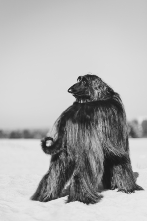 Black and white portrait of Afghan Hound standing on sand in desert Reklamní fotografie