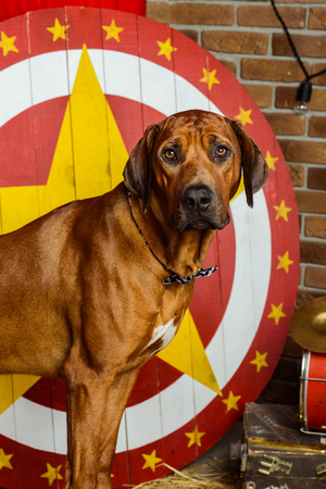 Rhodesian Ridgeback circus actor sitting on a drum in front of target Фото со стока