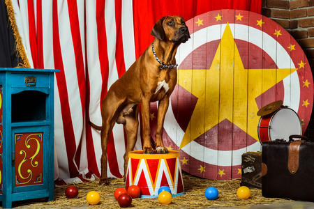 Rhodesian Ridgeback circus actor sitting on a drum in front of target Banco de Imagens