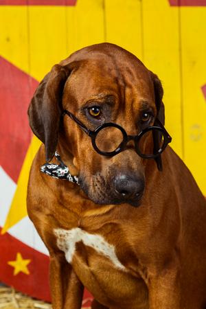 Rhodesian Ridgeback circus actor wearing glasses