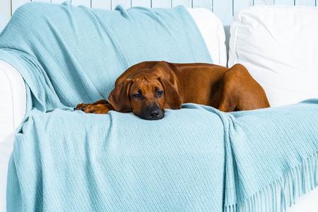 Rhodesian Ridgeback puppy lying on sofa in marine style interior Stock Photo