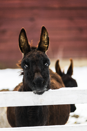 Portrait of donkey behind white fence on farm