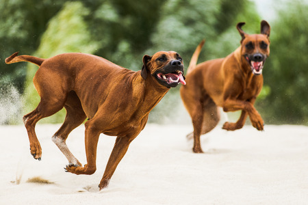 Two funny playful Rhodesian Ridgebacks chasing each other on beach