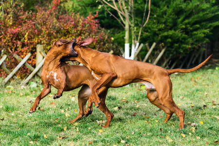 Two funny friendly Rhodesian Ridgebacks dogs playing, running, chasing 写真素材