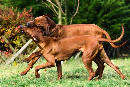 Two funny friendly Rhodesian Ridgebacks dogs playing, running, chasing Reklamní fotografie