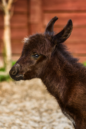 Portrait of cute baby donkey on agriculture farm