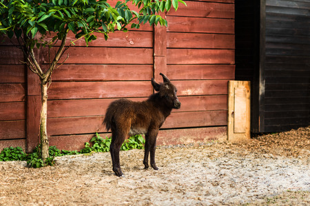 Adorable newborn donkey on agriculture farm, brown colt