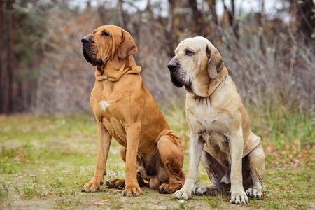 Two adult Fila Brasileiro (Brazilian Mastiff) dogs sitting side to side, autumn scene