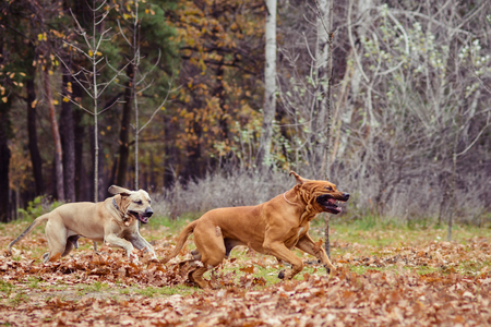 Two adult Fila Brasileiro (Brazilian Mastiff) dogs sitting side to side, autumn scene