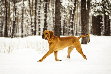 Adult Fila Brasileiro (Brazilian Mastiff) having fun in snow, winter scene