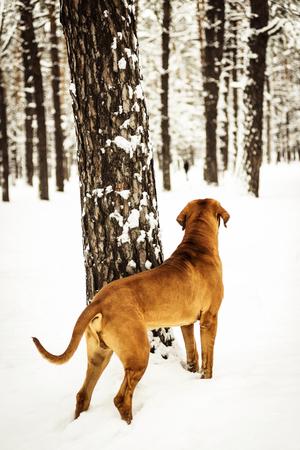 Adult Fila Brasileiro (Brazilian Mastiff) watching somethig, back view, winter scene