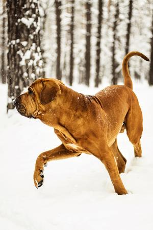 Adult Fila Brasileiro (Brazilian Mastiff) having fun in snow, winter scene