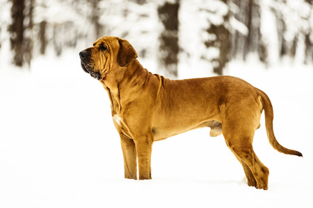 Adult Fila Brasileiro (Brazilian Mastiff) portrait in snow, winter scene Stock Photo