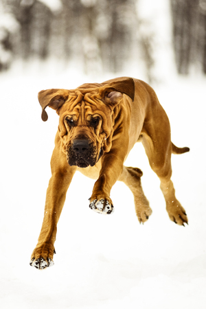 Funny face wrinkly Fila Brasileiro Dog (Brazilian Mastiff) having fun in snow, winter scene Imagens