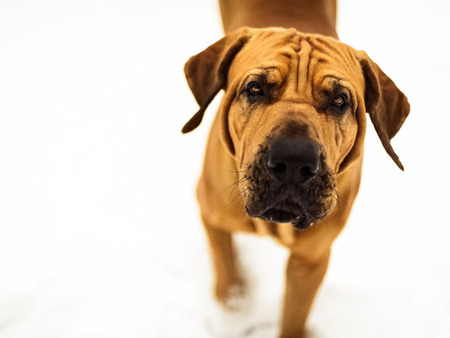Curious Fila Brasileiro (Brazilian Mastiff) close-up portrait, winter scene