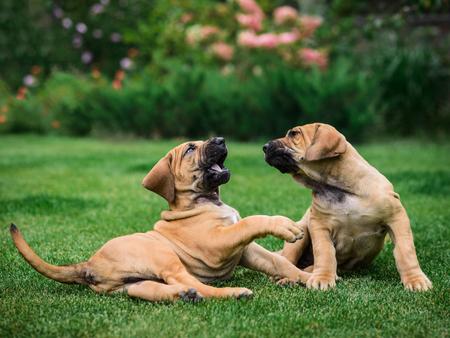 Two Fila Brasileiro (Brazilian Mastiff) puppies playing on the grass Stock fotó