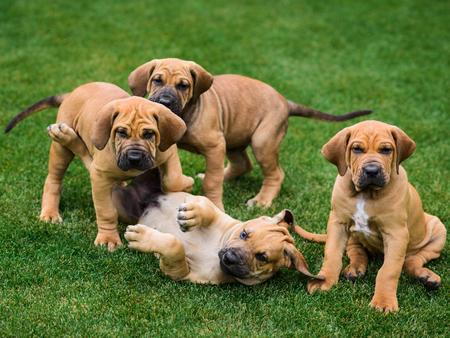 Four Fila Brasileiro (Brazilian Mastiff) puppies playing on the grass 写真素材