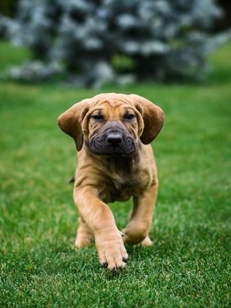 Cute Fila Brasileiro (Brazilian Mastiff) puppy portrait