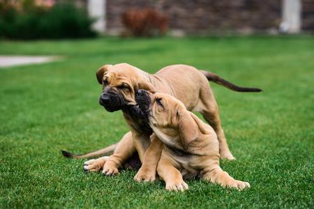 Two Fila Brasileiro (Brazilian Mastiff) puppies playing on the grass Reklamní fotografie