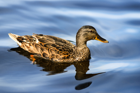 Close up portrait of adorable female duck swimming in blue water Standard-Bild