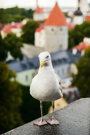 Beautiful white herring gull close up portrait on Tallin city background Stok Fotoğraf