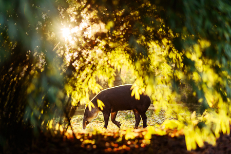 Tapir in colourful sun backlight woods in zoo Imagens