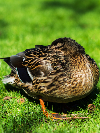 Close up portrait of male duck resting hiding its head among feathers Banco de Imagens