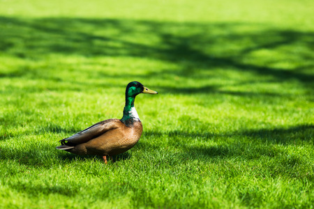 Portrait of male duck on fresh spring green grass Stock Photo