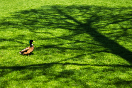 Portrait of male duck on fresh spring green grass in tree shade Stock Photo