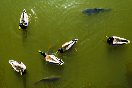 Ducks and carps in green water, view from above, pattern, background Stock Photo