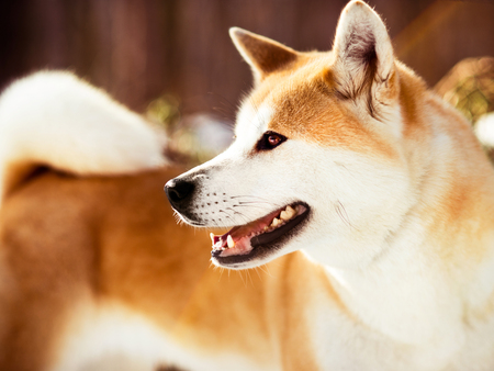 Close-up portait of adult smiling great Japanese Akita inu dog in winter forest background