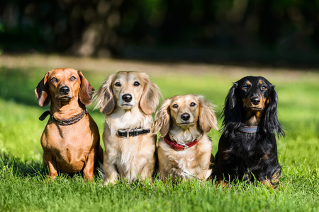 Four dachshund dogs sitting in row on grass wathcing their master