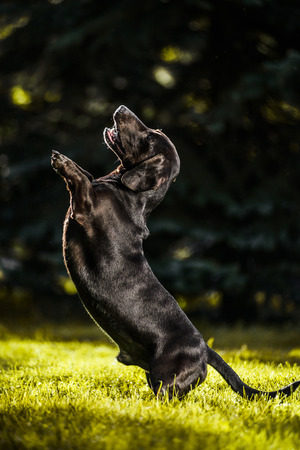Cute brown dachshund standing on hind legs asking for treats in summer sun backlight Stock Photo