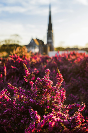 Close up view of magenta erica heather flowers in front of St Albans Church in Copenhagen, Denmark