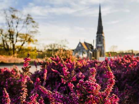 Close up view of purple erica heather flowers in front of St Albans Church in Copenhagen, Denmark