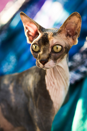 close-up portrait of beautiful spotty hairless sphynx cat sitting on colorful textile background 版權商用圖片