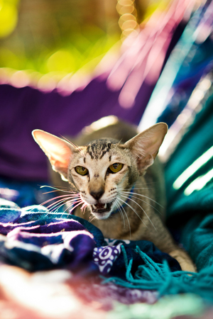 nervous oriental shorthair cat sitting on colorful textile pillows, open mouth
