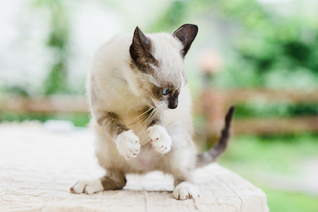 cute white and gray kitten cat catching something by paws, claws released, standing on legs
