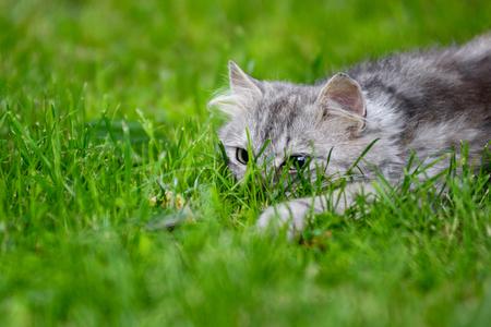 Leuke grijze pluizige domme kat die speelt in gras dat speelgoed achtervolgt