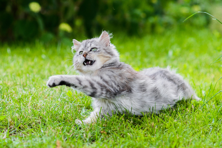 Cute gray fluffy silly face cat playing in grass attacking toy in jump Stok Fotoğraf