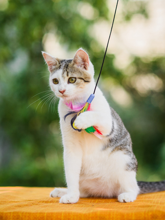 graceful white and gray cat sitting with feather toy holding it with paw