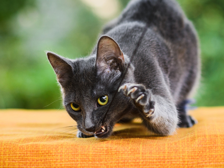 graceful gray russian blue cat holding toy in its mouth, claws released, close up portrait