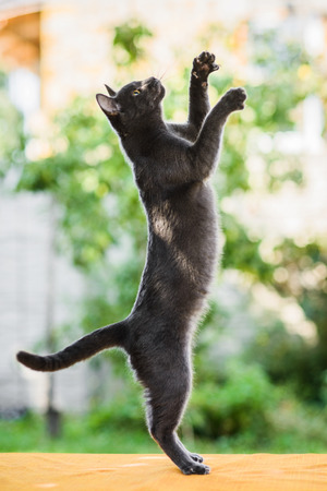 graceful gray russian blue cat hunting chasing something, standing on legs, jumping high, profile view Stock Photo