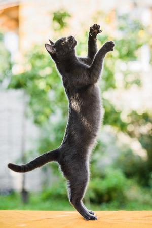 Gracioso gato azul ruso gris cazando persiguiendo algo, de pie sobre las piernas, saltando alto, vista de perfil Foto de archivo