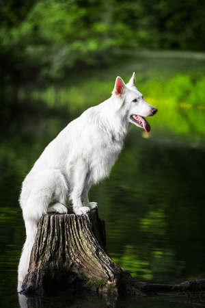Berger Blanc Suisse sitting on stump among water