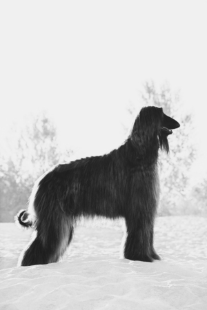 Black and white portrait of Afghan Hound standing in profile on sand in desert
